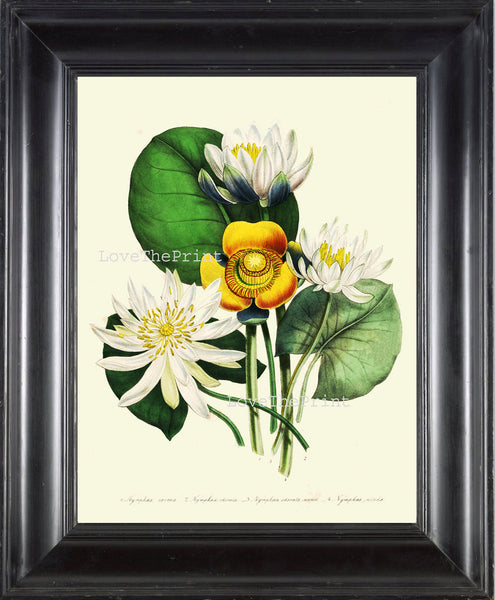 BOTANICAL PRINT Loudon Flower  Botanical Art Print 56 Beautiful White Yellow Antique Lotus Water Lily Lake Nature Flowers