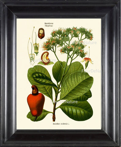 Cashew Nut Anacardium Botanical Herb Art Print 21 Kohler 8x10 Beautiful Antique Cashew Plant Chart Green Leaves Garcen Food Nature to Frame