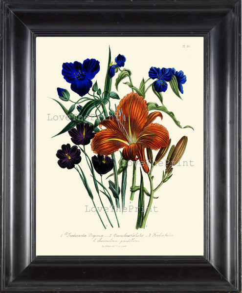 BOTANICAL PRINT Loudon Flower  Botanical Art Print 15 Beautiful Tiger Lily Blue Antique Flowers Garden