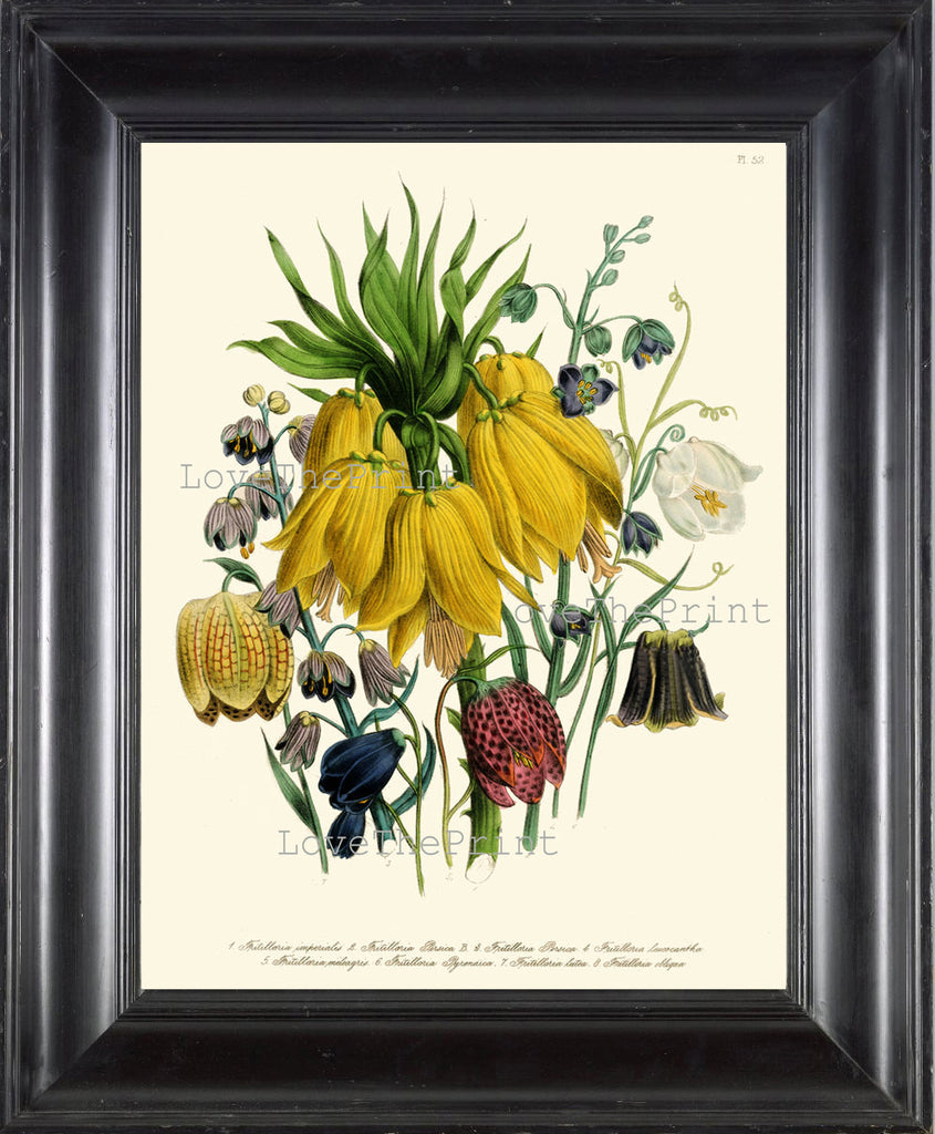BOTANICAL PRINT Loudon Flower  Botanical Art Print 61 Beautiful Blue Yellow Antique Fritilloria Persica Flowers Garden Nature Plant