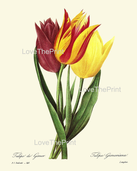 BOTANICAL PRINT Redoute Flower  Botanical Art Print 14 Beautiful Tulip Flower Plant Garden Nature to Frame Home Decor