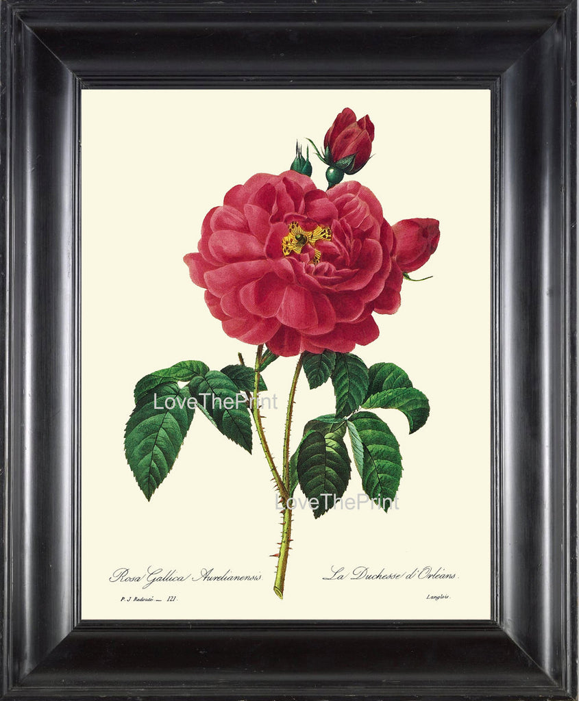 BOTANICAL PRINT Redoute Flower  Botanical Art Print 21 Beautiful Red Rose Plant Garden Nature to Frame Home Decor
