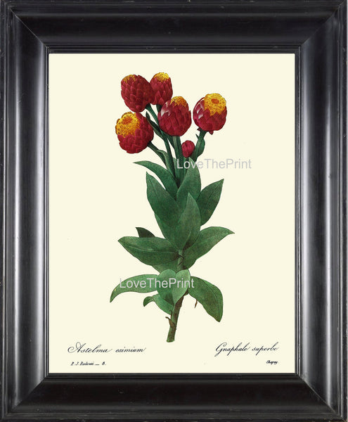 BOTANICAL PRINT Redoute Flower  Botanical Art Print 22 Beautiful Milkweed Plant Red Yellow Garden Nature to Frame Home Decor