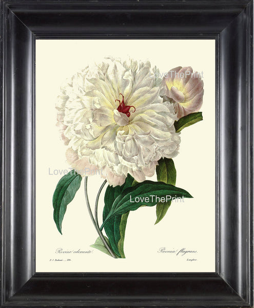 BOTANICAL PRINT Redoute Flower  Botanical Art Print 25 Beautiful Large White Peony Plant Garden Nature to Frame Home Decor