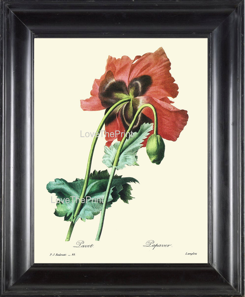 BOTANICAL PRINT Redoute Flower  Botanical Art Print 37 Beautiful Large Red Poppy Plant Garden Nature to Frame Home Decor