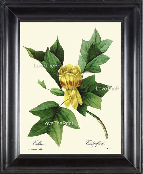 BOTANICAL PRINT Redoute Flower  Botanical Art Print 40 Beautiful Tulip Tree Tulipefera Plant Garden Nature to Frame Home Decor