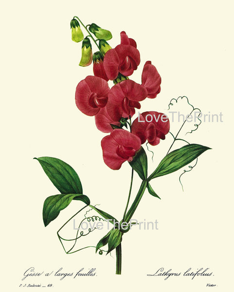 BOTANICAL PRINT Redoute Flower  Botanical Art Print 10 Beautiful Sweet Pea Red Flowers Plant Christmas Garden Nature