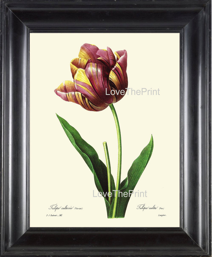 BOTANICAL PRINT Redoute Flower  Botanical Art Print 13 Beautiful Tulip Flower Plant Garden Nature to Frame Home Decor