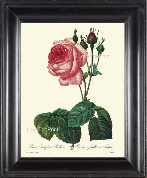 BOTANICAL PRINT Redoute Flower  Botanical Art Print 19 Beautiful Rose Pink Red Plant Garden Nature to Frame Home Decor