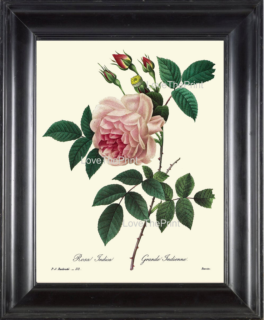 BOTANICAL PRINT Redoute Flower  Botanical Art Print 34 Beautiful Pink Rose Plant Garden Nature to Frame Home Decor