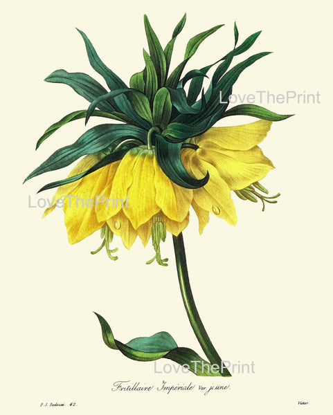 BOTANICAL PRINT Redoute Flower  Botanical Art Print 47 Fritillaria Imperial Crown Kaiser's Crown Yellow Plant Garden Nature to Frame