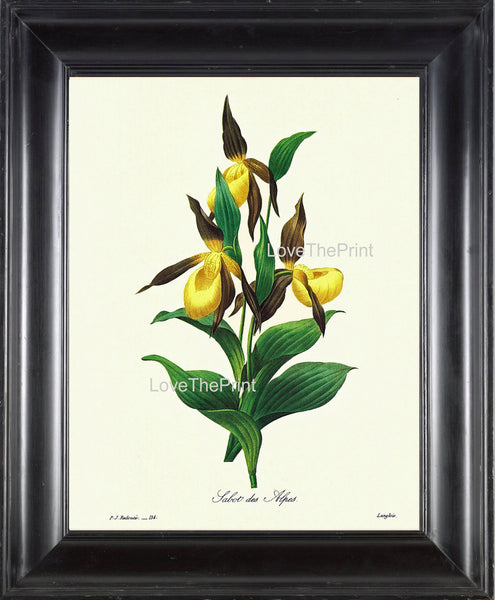 BOTANICAL PRINT Redoute Flower  Botanical Art Print 48 Tabot des Alpes Yellow FLower Nature to Frame