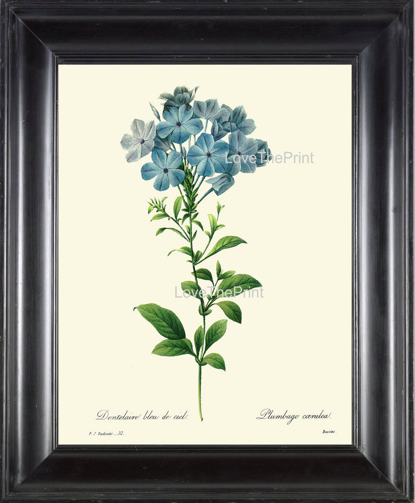 BOTANICAL PRINT Redoute Flower  Botanical Art Print 56 Beautiful Blue Leadwort Plumbago Skyflower Spring Summer Garden Home Decor