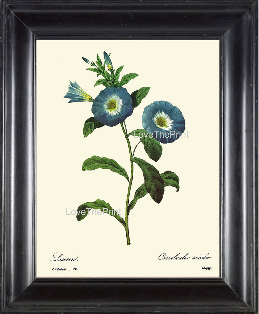 BOTANICAL PRINT Redoute Flower  Botanical Art Print 59 Beautiful Blue Liseron Morning Glory Wildflower Spring Summer Garden Home Decor