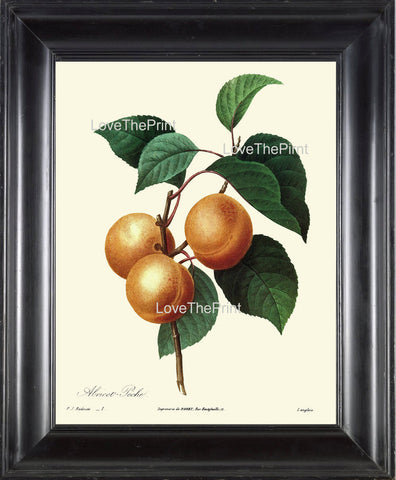 BOTANICAL PRINT Redoute Flower  Botanical Art Print 71 Beautiful Apricot Fruit Plant Garden Nature to Frame