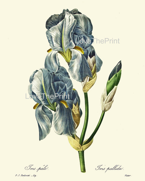 BOTANICAL PRINT Redoute Flower  Botanical Art Print 66 Beautiful Blue Iris Plant Garden Nature Home Decor to Frame