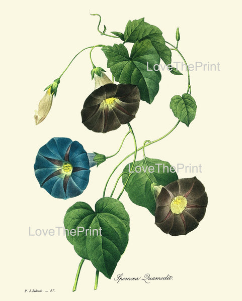 BOTANICAL PRINT Redoute Flower  Botanical Art Print 62 Beautiful Blue Morning Glory WIldflower Plant Nature Home Decor to Frame