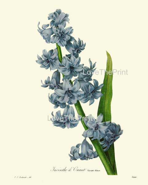 BOTANICAL PRINT Redoute Flower  Botanical Art Print 51 Beautiful Blue Hyacinth Spring Blooming Plant Garden Nature to Frame Home Decor