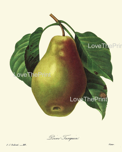 BOTANICAL PRINT Redoute Flower  Botanical Art Print 52 Beautiful Pear Fruit Plant Garden Nature to Frame