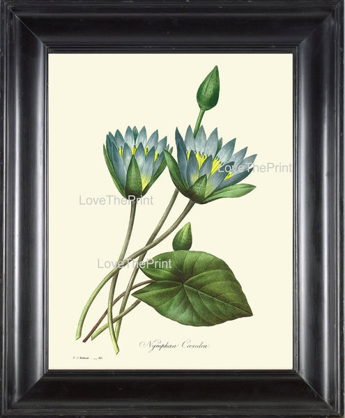 BOTANICAL PRINT Redoute Flower  Botanical Art Print 55 Beautiful Blue Water Lily Lotus Lake River Nature to Frame