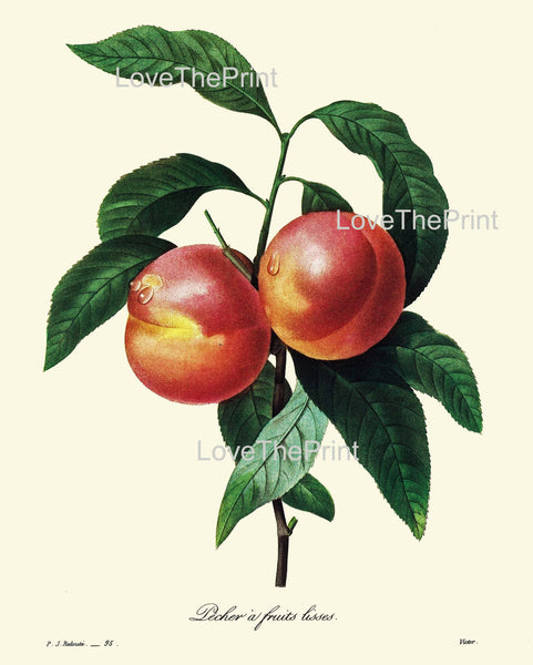 BOTANICAL PRINT Redoute Flower  Botanical Art Print 73 Beautiful Peach Fruit Tree Branch Green Leaves Summer Garden Home Decor