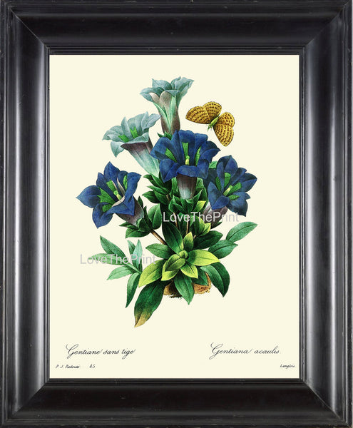 BOTANICAL PRINT Redoute Flower  Botanical Art Print 61 Beautiful Blue Trumpet Gentian  Swiss Alpine Wildflower Spring Summer Garden