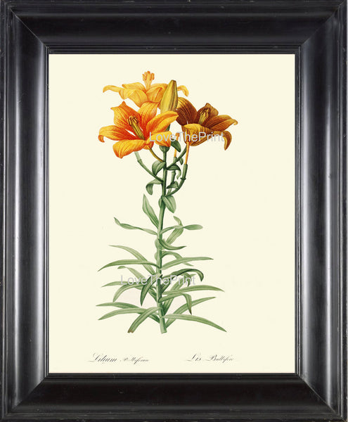 BOTANICAL PRINT Redoute Flower  Botanical Art Print 127 Beautiful Lily Orange Yellow Tiger Spring Summer Garden