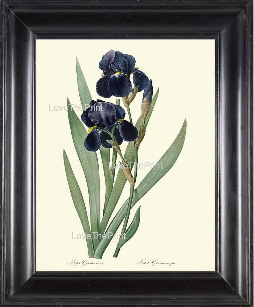 BOTANICAL PRINT Redoute Flower  Botanical Art Print 161 Beautiful Blue Iris Plant Antique Writing Nature to Frame Interior Design