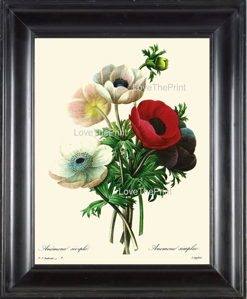 BOTANICAL PRINT Redoute Flower  Botanical Art Print 1 Beautiful Anemone Flowers Antique Writing Nature Home Decor to Frame
