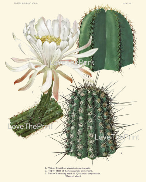BOTANICAL PRINT CACTUS  Art Print 1 Beautiful White Flower Tropical Garden Nature Home Office Wall Decor