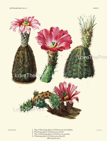 BOTANICAL PRINT CACTUS  Art Print 4 Beautiful Blooming Pink Flower Tropical Illustration Garden Nature Home Wall Decor to Frame
