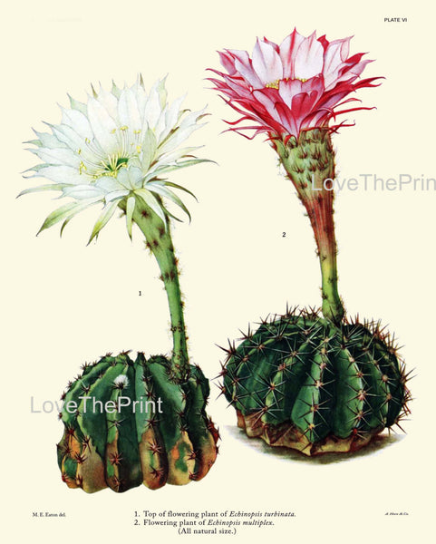 BOTANICAL PRINT CACTUS  Art Print 5 Beautiful Blooming White Pink Flower Tropical Illustration Garden Nature Home Wall Decor to Frame