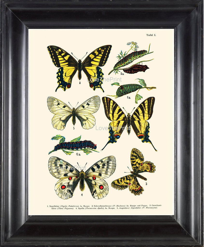 EUROPEAN BUTTERFLY PRINT  Botanical Art Print 3 Beautiful Butterflies Raupe Apollo Caterpillar Spring Summer Garden to Frame