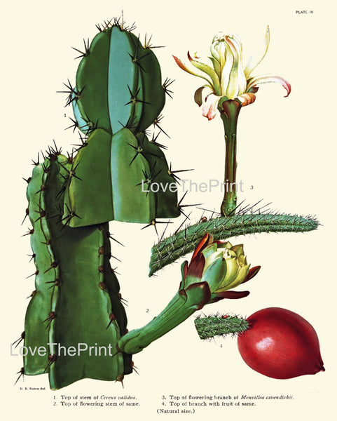BOTANICAL PRINT CACTUS Flower  Botanical Art Print 8 Beautiful White Blooming Cactus Red Berry Fruit Flowers Garden