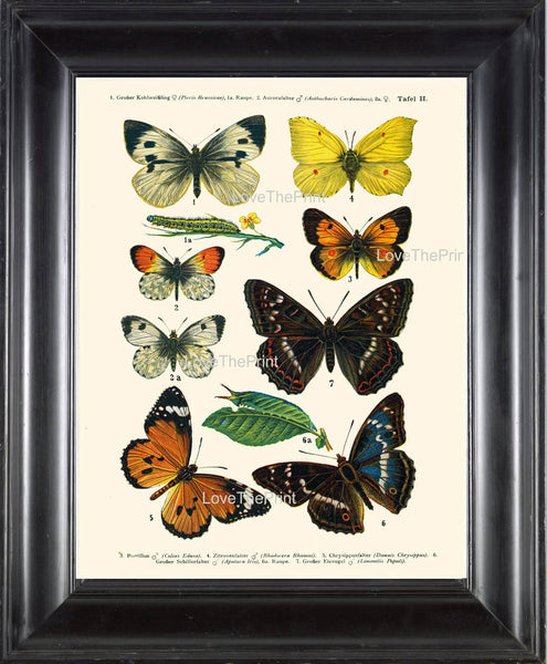 EUROPEAN BUTTERFLY PRINT  Botanical Art Print 2 Beautiful Butterflies Postillon Yellow Green Caterpillar Insect Green Leaves