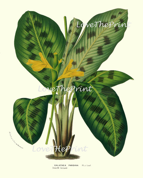 BOTANICAL PRINT HOUTTE  Art Print 58 Beautiful Galathea Pardina Plant Leaf Tropical Nature Yellow Flowers Antique Home Wall Decor