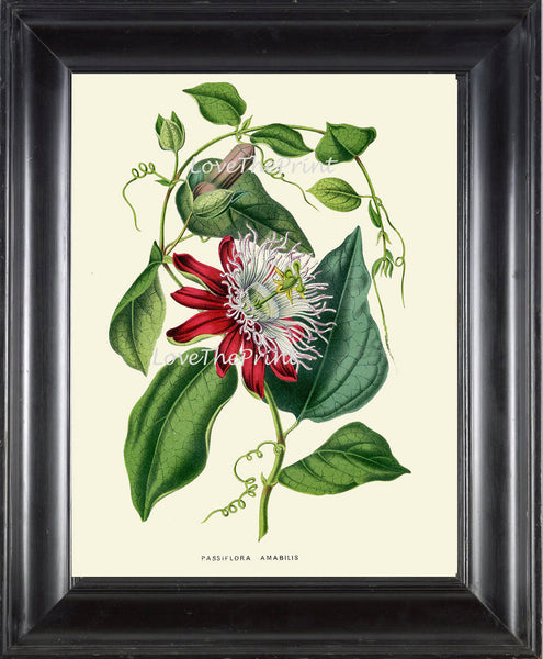 BOTANICAL PRINT HOUTTE  Art Print 166 Beautiful Antique Passion Flower llustration Interior Design Picture Tropical Room Decor to Frame