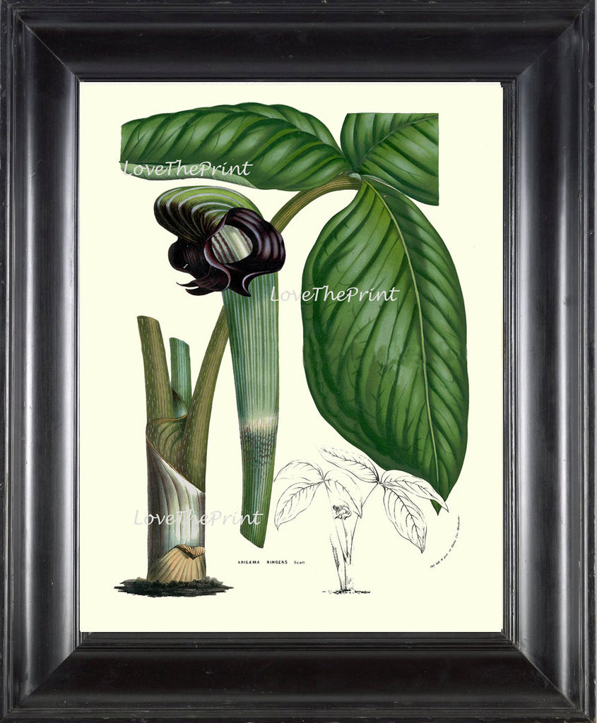 BOTANICAL PRINT HOUTTE  Art Print 55 Beautiful Cobra Lily Arisaema Ringens Green Flower Leaf Spring Summer Plant Picture Illustration