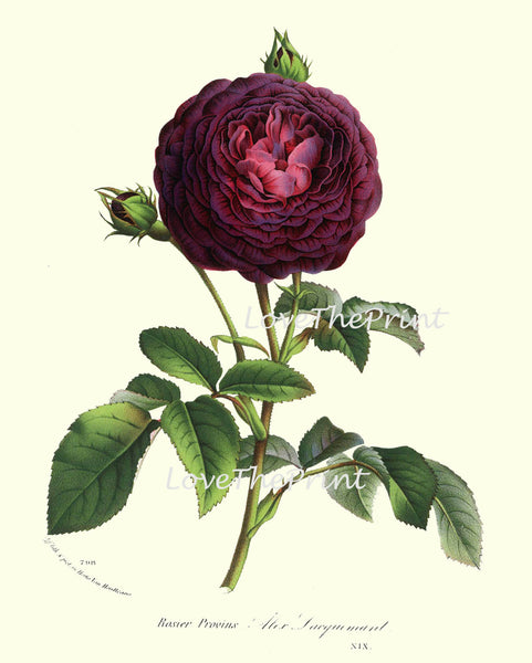 BOTANICAL PRINT HOUTTE  Art Print 152 Beautiful Burgundy Cabbage Rose Rosebud Blooming Flowers Spring Summer Garden Antique French