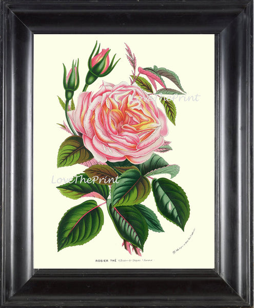 BOTANICAL PRINT HOUTTE  Art Print 136 Beautiful Antique Pink Yellow Peach Cabbage Rose Rosebud Flower Spring Summer Garden French Decor