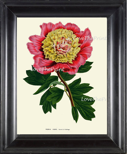 BOTANICAL PRINT HOUTTE  Art Print 175 Beautiful Antique Large Pink Yellow Peony Flower Spring Summer Garden Plant Home Room Decoration