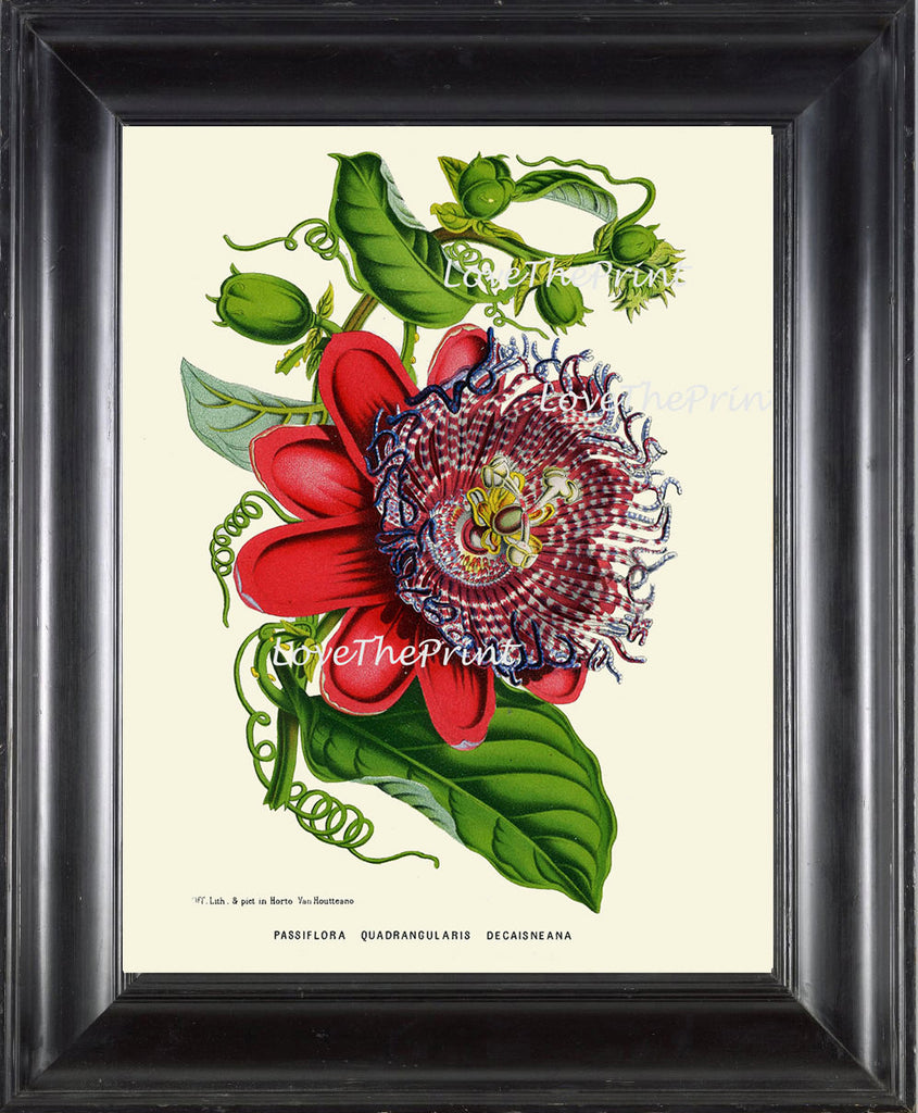BOTANICAL PRINT HOUTTE  Art Print 168 Beautiful Antique Passion Flower Tropical Garden Plant Home Room Wall Decor Decoration to Frame