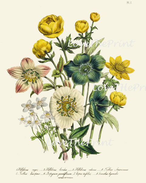 BOTANICAL PRINT Loudon Flower  Botanical Art Print 57 Beautiful Blue Antique Helleborus Iividus Yellow Green Marble Flowers Garden
