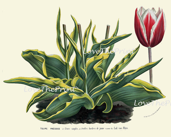 BOTANICAL PRINT HOUTTE  Art 177 Beautiful Large Antique Pink White Tulip Flower Garden Home Wall Room Decor Interior Design to Frame
