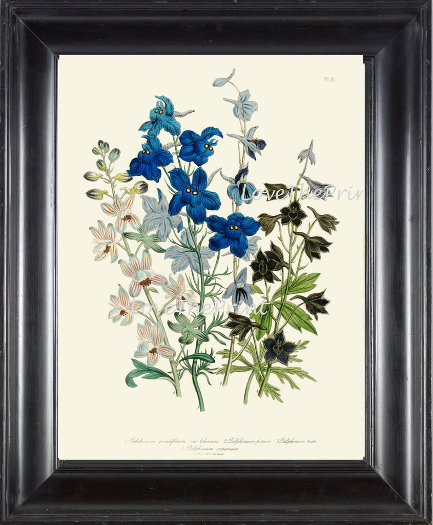 BOTANICAL PRINT Loudon Flower  Botanical Art Print 63 Beautiful Blue Antique Delphinium Flowers Garden