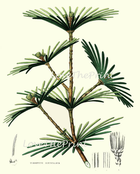 BOTANICAL PRINT Houtte Flower  Botanical Art Print 63 Beautiful Antique Umbrella Pine Tree Chart Illustration Forest Nature Summer Plant