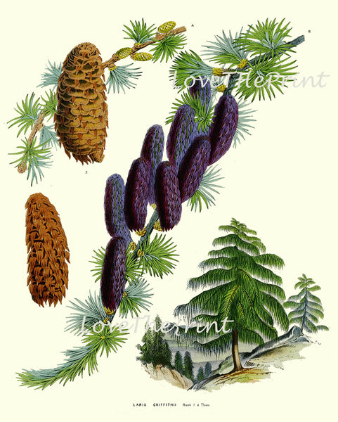 BOTANICAL PRINT Houtte Flower  Botanical Art Print 67 Beautiful Antique Pine Tree Pinecone Sikkim Larch Chart Illustration Summer Plant