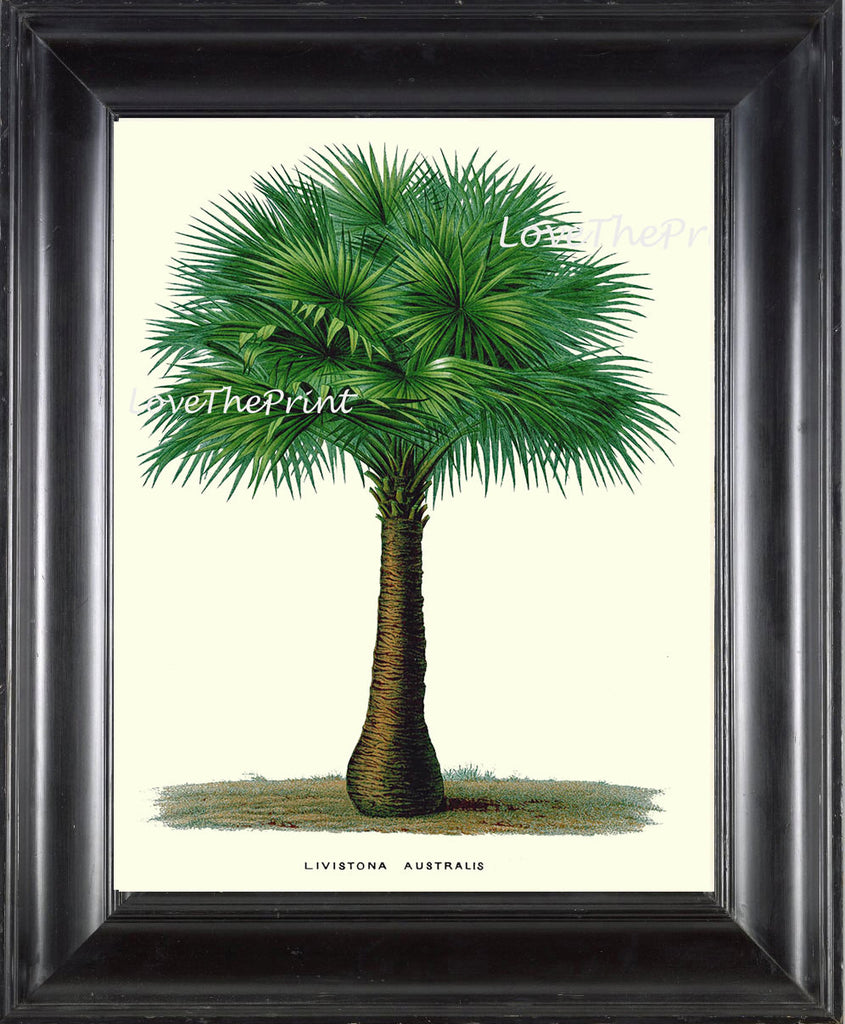 BOTANICAL PRINT Houtte Flower  Botanical Art Print 127 Beautiful Antique Palm Tree Australian Cabbage Palm Tropical Home Decor to Frame