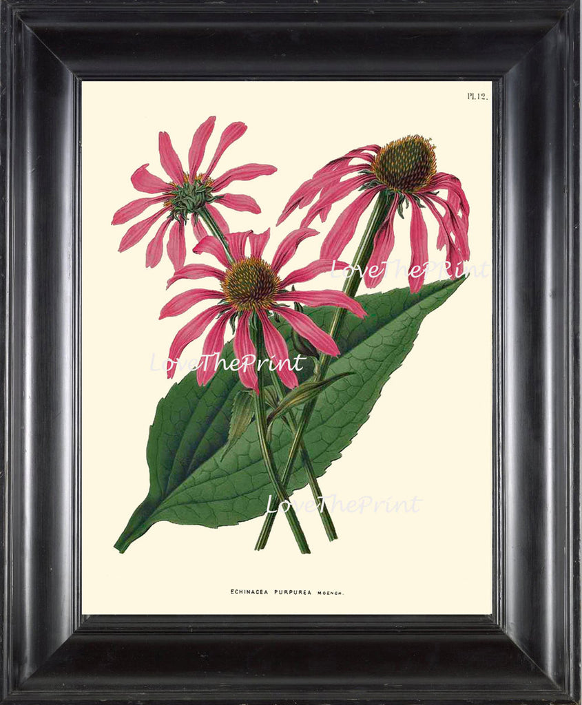 BOTANICAL PRINT WITTE  Botanical Art Print 18 Beautiful Pink Echinacea Antique Flower Spring Garden Herb Summer Wall Home Decor to Frame