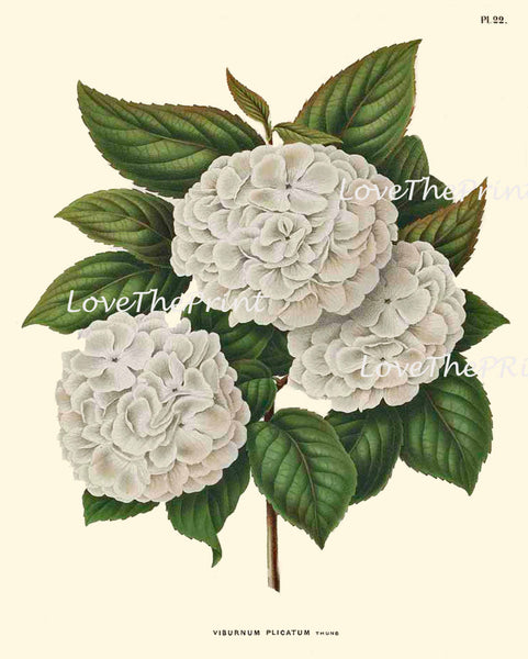 BOTANICAL PRINT WITTE  Botanical Art Print 21 Beautiful White Hydrangea Antique Large Flower Spring Garden Summer Home Decor to Frame